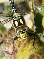 Libelle, Mosaikjungfer, Herbst