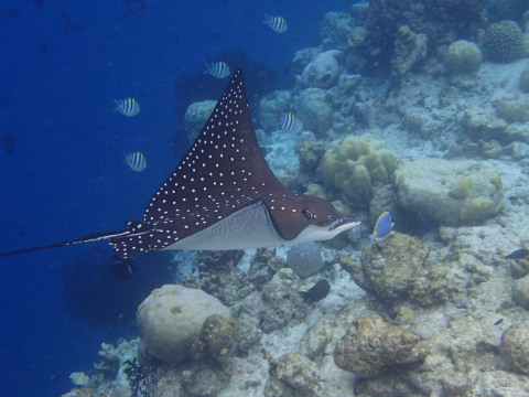 Eagle Ray, Vilamendhoo, Maldives