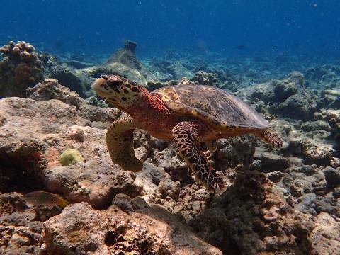 Hawksbill Turtle, Vilamendhoo, Maldives