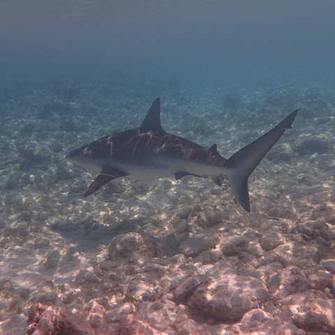Grey Reefshark, Turks & Caucus, Caribbean